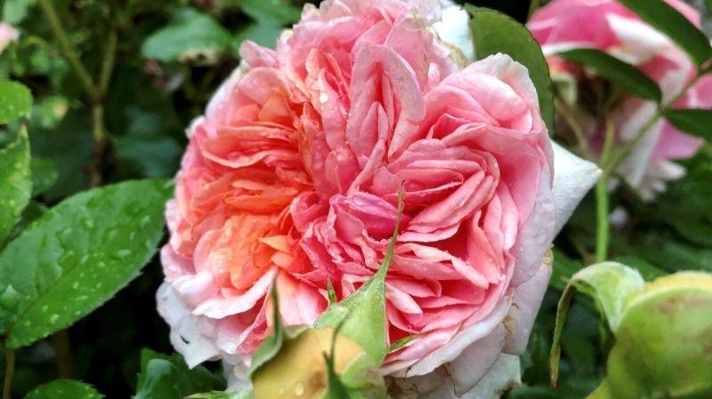 La reine des fleurs dévoile ses charmes à Fully