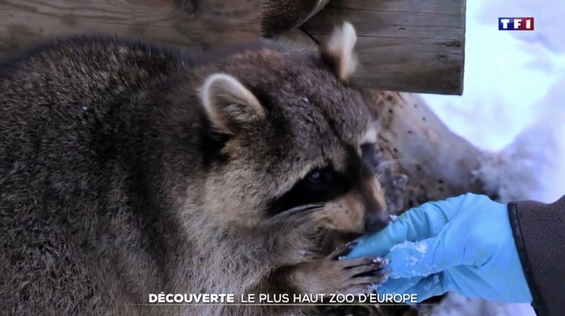 «Le 20 heures» de TF1 sous le charme du zoo des Marécottes