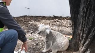 Australie: des koalas sauvés des flammes relâchés dans leur habitat naturel