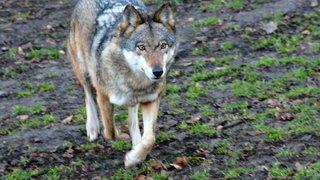 Votation: la loi sur la chasse est un bon compromis entre le loup et l'homme, selon Berne