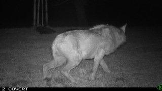 Loup malade abattu en Thurgovie