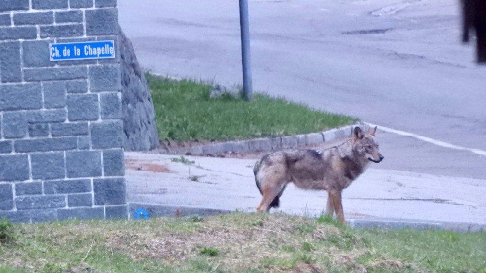 Selon Olivier Gerspacher, qui a pris cette image, le loup était craintif.
