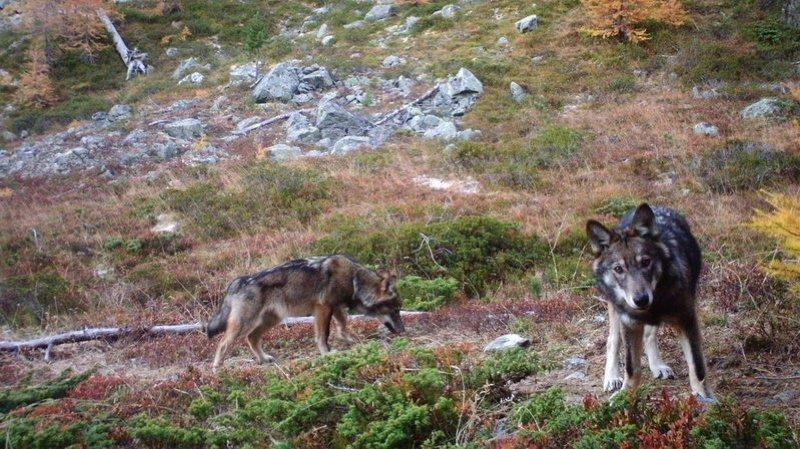 Loi sur la chasse: le Conseil fédéral veut resserrer la vis pour protéger les loups