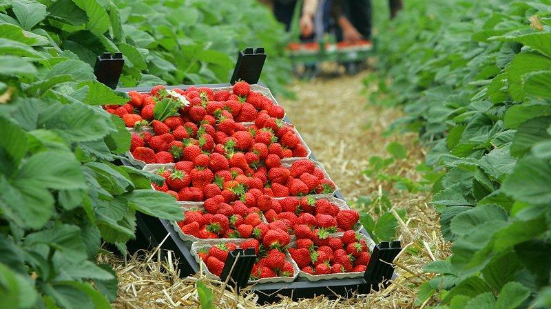 Les agriculteurs suisses ont suffisamment de saisonniers malgré le virus