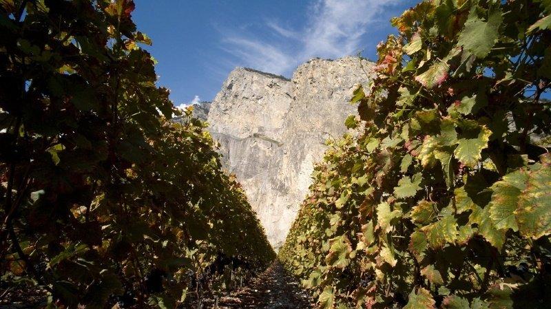 Moins de vendange pour sauver la viticulture valaisanne: la proposition contestée des grandes caves