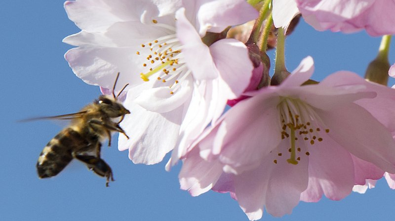 Journée mondiale des abeilles: pas de démonstrations en Suisse romande le 20 mai