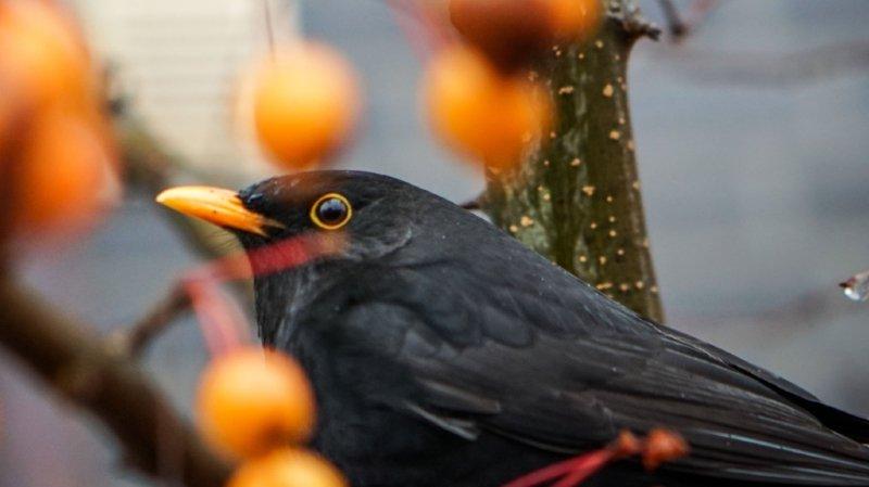 Biodiversité: les Suisses ont été nombreux à compter les oiseaux depuis leur balcon ou leur jardin