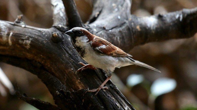 Ornithologie: les Suisses invités à compter les oiseaux de leurs jardins