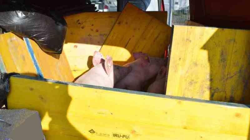 Lucerne: trois cochons ont été découverts à l'intérieur d'une camionnette surchargée