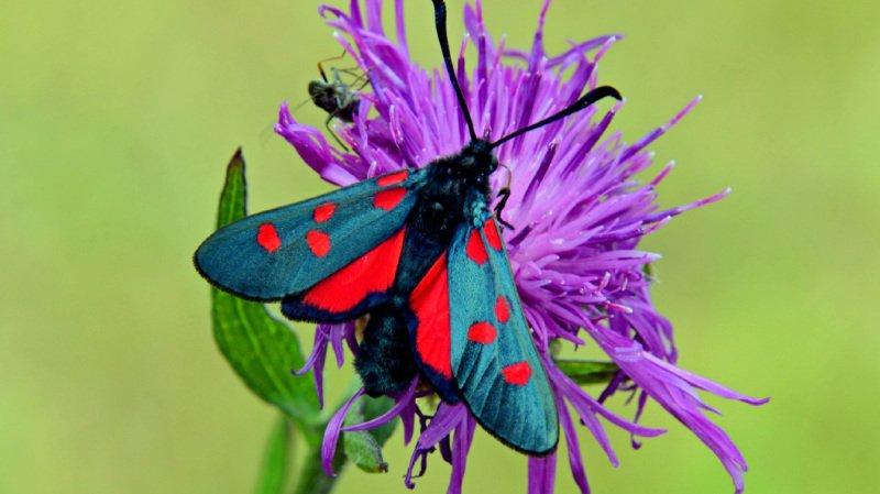 Les insectes et les papillons manquent de sources de nourriture en raison d'un déclin de la diversité des plantes.
