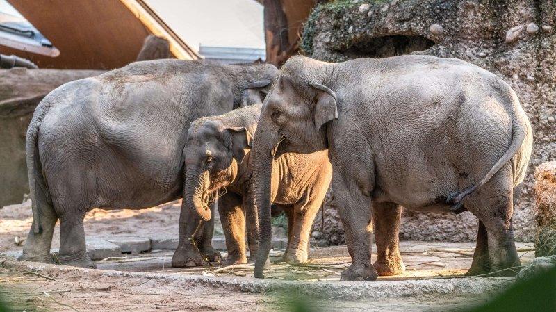Les parents du bébé éléphant sont Farha et Thaï. (Archives)