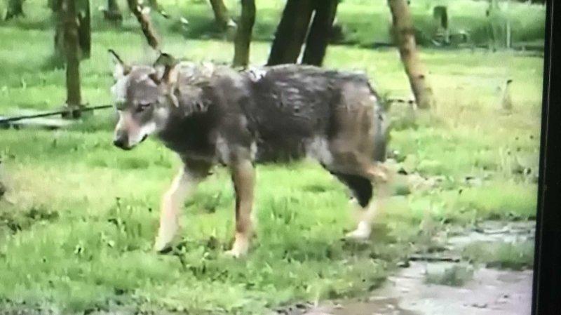 Martigny: un «loup» filmé aux portes de la ville?