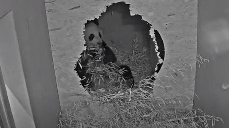 Première naissance d'un panda géant aux Pays-Bas
