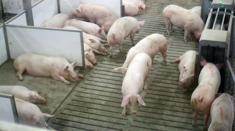 Le Syndrome dysgénésique et respiratoire du porc induit des problèmes au niveau de la reproduction ainsi que de la fièvre et des symptômes respiratoires. (photo symbolique).
