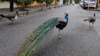 Coronavirus: dans l'Inde confinée, les animaux s'approprient les rues