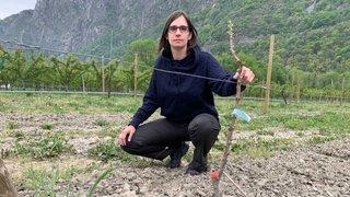 Valais: des plants d'abricotiers volés dans la plaine du Rhône