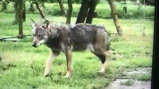 Le loup du «Guercet» n'a plus été observé