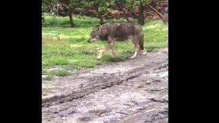 Un loup filmé dans la plaine entre Charrat et Martigny