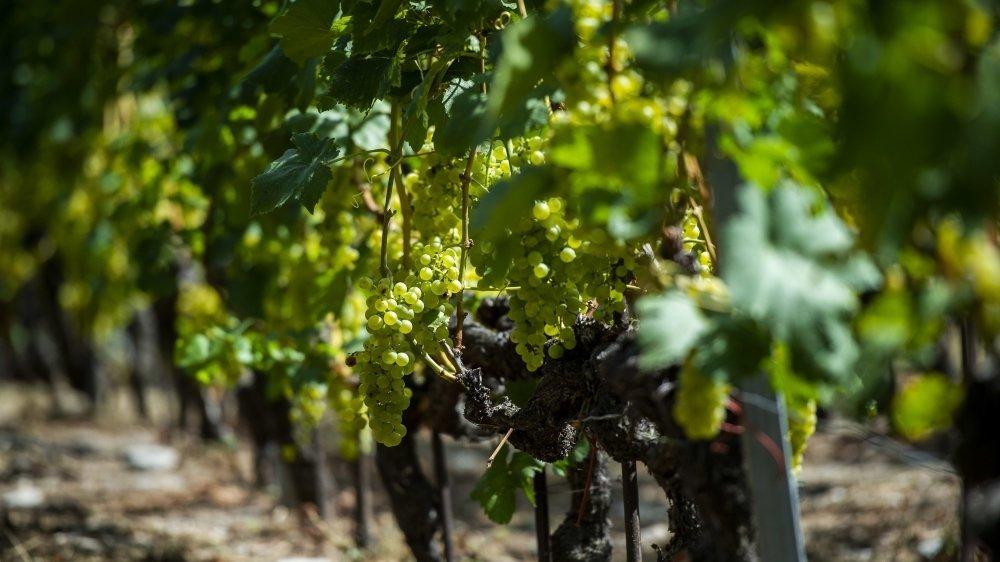 Les acteurs de la vigne et du vin espèrent que les actions promotionnelles en cours pour favoriser l'achat de vin suisse dans la grande distribution et les établissements publics permettront d'enrayer la crise.