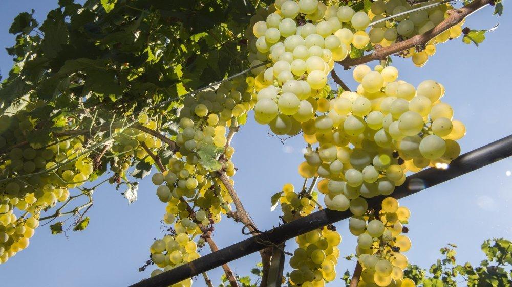 Alors que la vendange s'annonce précoce et que le travail bat son plein dans les vignobles, la viticulture valaisanne semble nager en plein paradoxe.