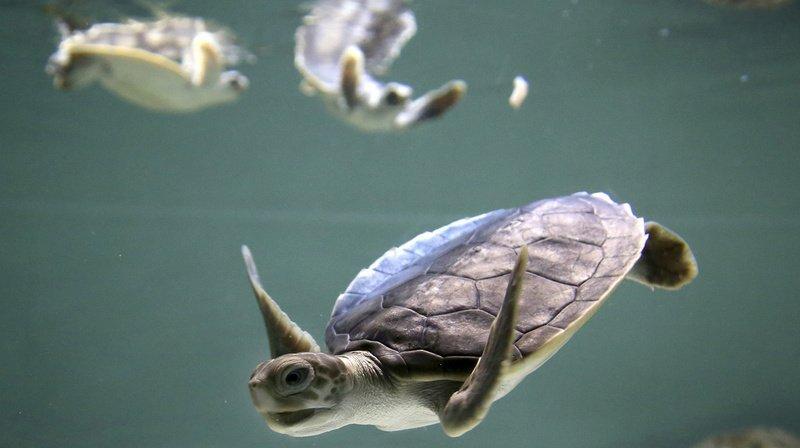 Australie: des drones ont filmé un rassemblement de plus de 60'000 tortues marines