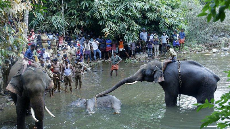 Eléphante tuée en Inde: un suspect arrêté