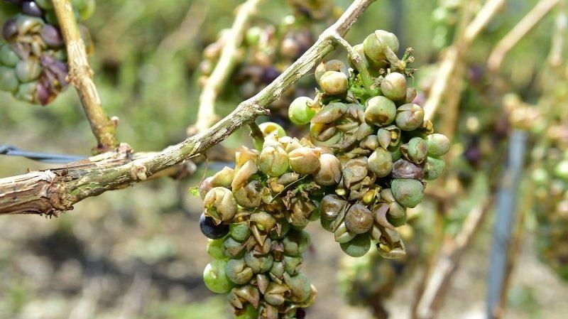 Ce soutien aux acteurs de la vigne et du vin qui n'aide presque personne