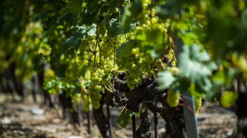 Baisse des quotas: les perspectives des vignerons valaisans s'assombrissent encore