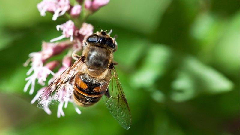 Biodiversité: le Parlement veut sauver les abeilles