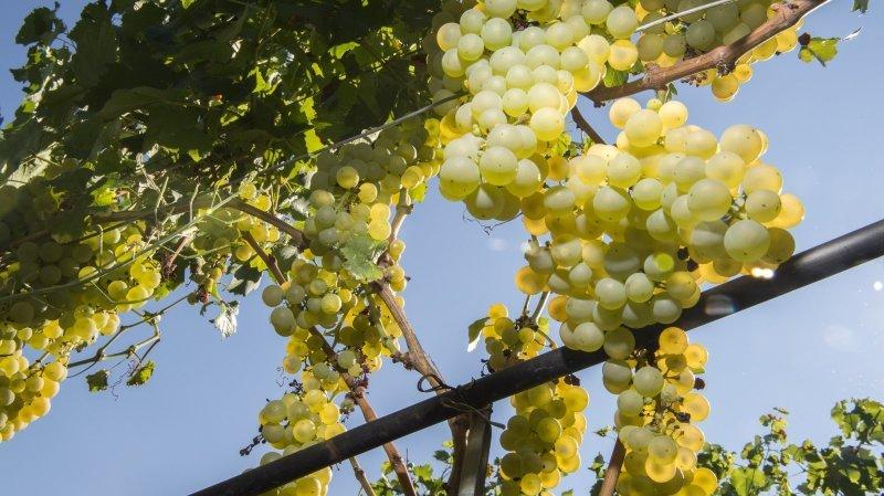Ce soutien complémentaire «permettra d'alléger le marché des vins valaisans, de faire baisser la pression sur les prix de vente des vins ainsi que sur la prise en charge et les prix de la vendange», écrit le Conseil d'Etat valaisan.