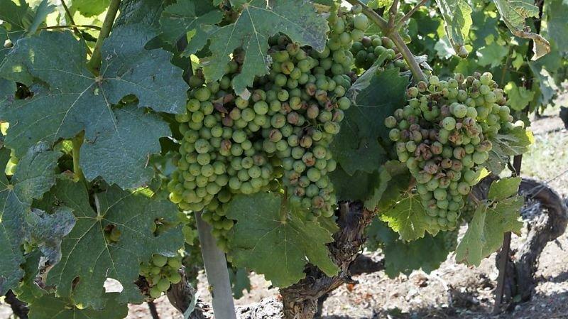 Coronavirus: les viticulteurs pourront déclasser les vins AOC en vin de table