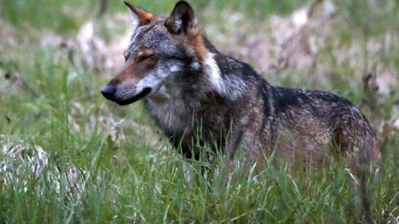 Si le loup s'établit en Valais, c'est d'abord parce qu'il y trouve beaucoup de cerfs à se mettre sous les crocs