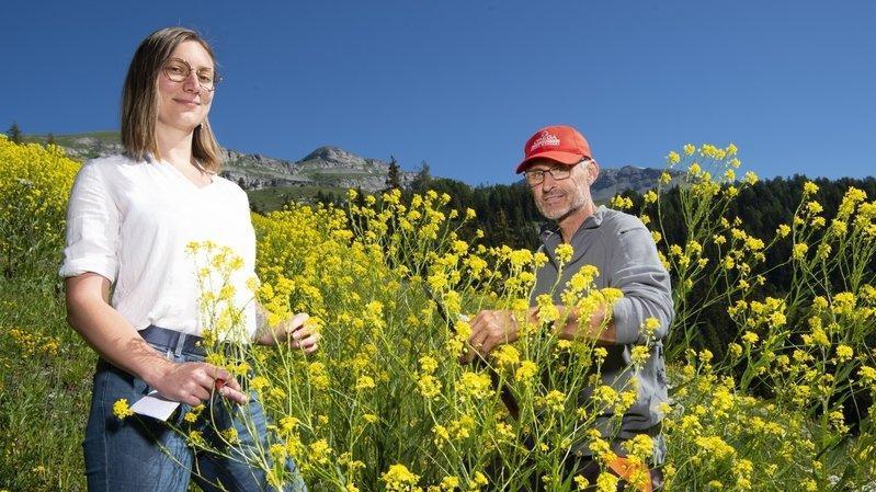 Plantes envahissantes: Crans-Montana sollicite l'aide des citoyens pour lutter contre le bunias d'Orient