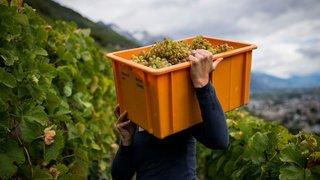 Viticulture: vers des quotas supérieurs à 1 kilo et des déclassements d'AOC en vins de table