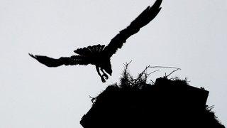Ornithologie: carnet rose pour une femelle balbuzard lâchée en Suisse