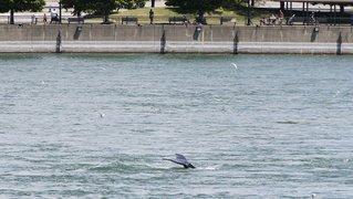 Canada: égarée, une baleine à bosse aperçue à Montréal