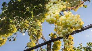 5millions de francs au lieu de 3,2 pour le déclassement des vins valaisans