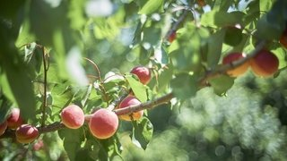 2500kg d'abricots pour le tourisme valaisan
