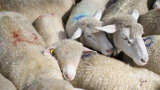 Uri: onze moutons tués par une attaque de loup à Realp