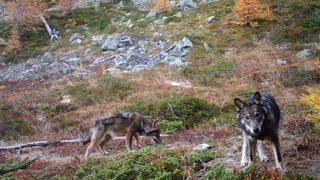 L'erreur autour de l'initiative contre les grands prédateurs sans conséquence