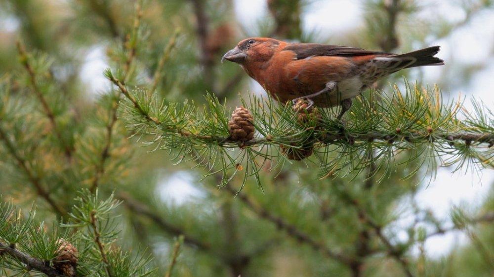 Le bec-croisé des sapins est un oiseau très spécialisé vivant jusqu'à 3000 mètres d'altitude et qui se nourrit presque exclusivement  de graines de conifères.