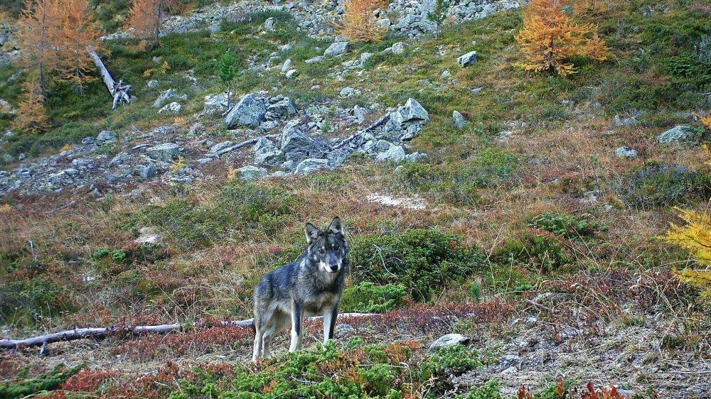 Pour la sénatrice Verte Adèle Thorens, «le loup attaque 90% de ses proies dans des troupeaux qui ne sont pas ou insuffisamment protégés».