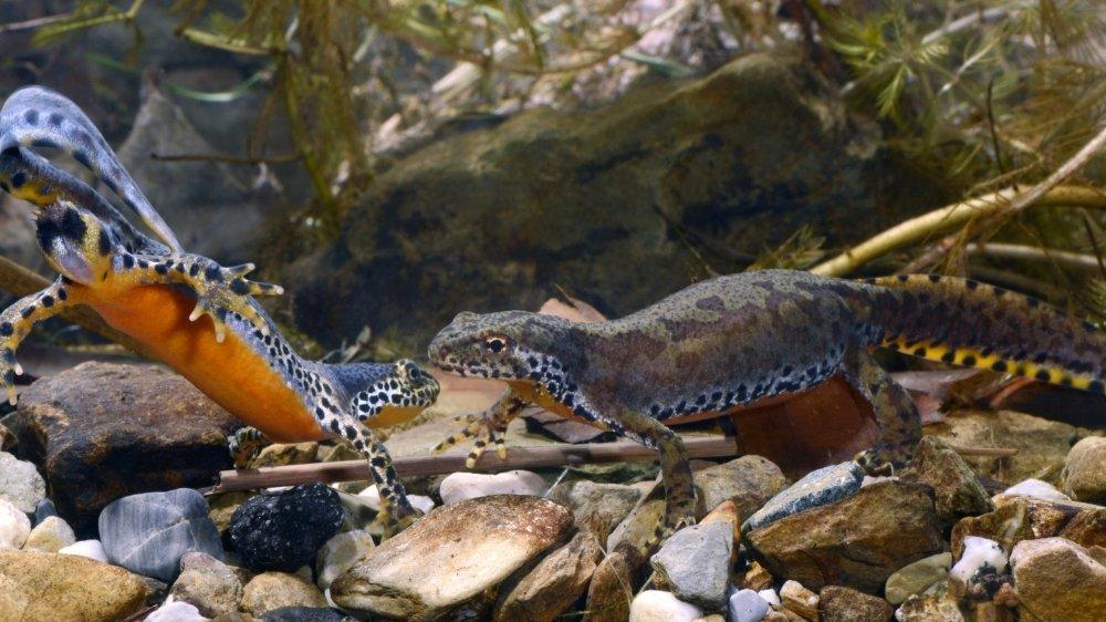 Au printemps le mâle arbore une tenue bariolée des plus étonnante: dos bleu ardoisé, pattes et flancs blancs tachetés de noir et ventre orange éclatant.
