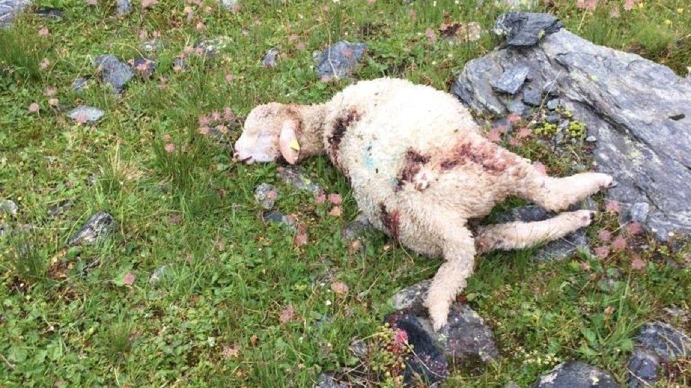 Agneaux et moutons n'ont eu aucune chance d'échappatoire.