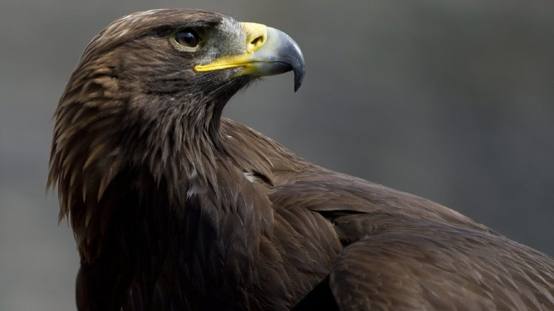 Berne: un braconnier condamné à 10000francs d'amende pour avoir abattu un aigle royal