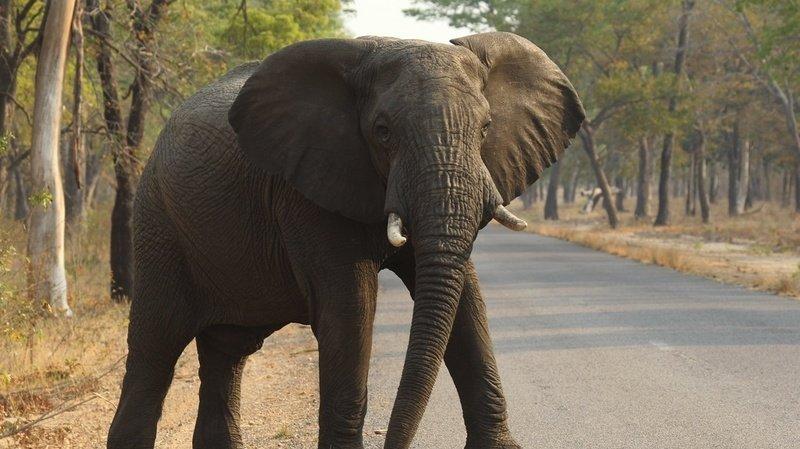 Les animaux herbivores courent un plus grand danger d'extinction que les carnivores