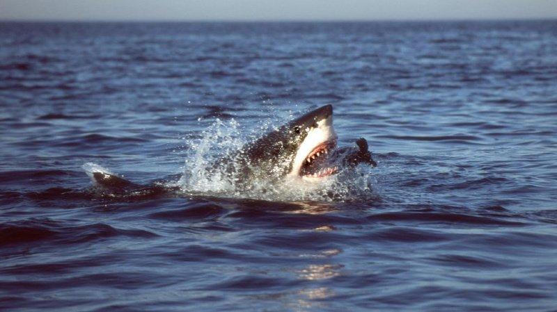 Une femme meurt après l'attaque d'un grand requin blanc — États-Unis