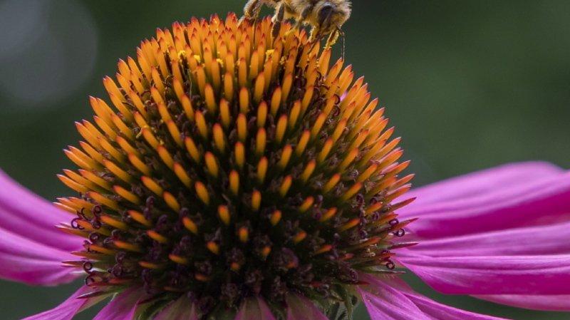 Environnement: le déclin des abeilles sauvages est une menace pour les cultures