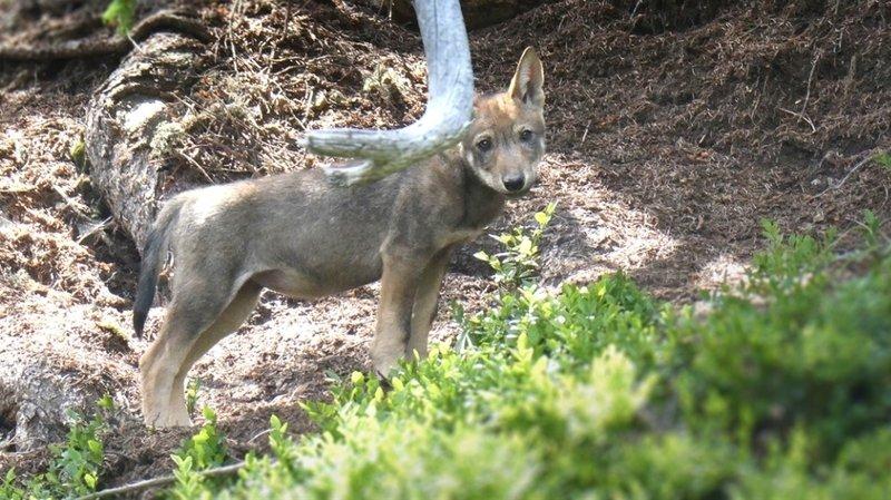 Sixième meute de loups dans les Grisons
