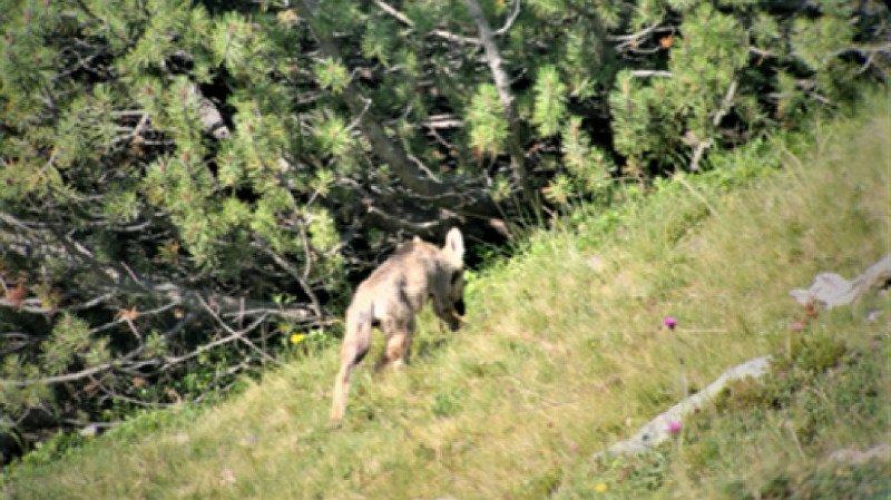 Grands prédateurs: une septième meute de loups observée dans les Grisons